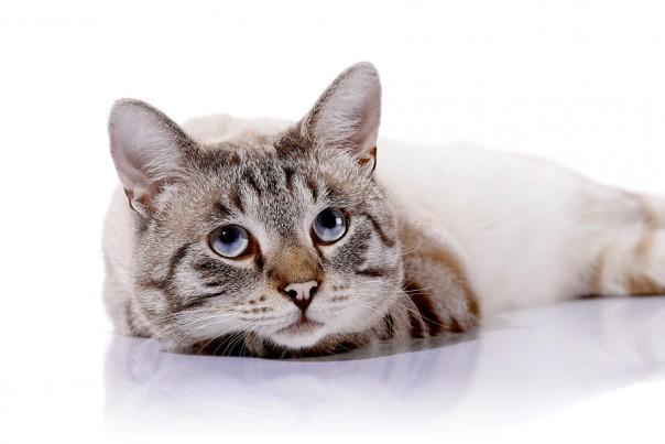 Striped Blue-eyed Cat