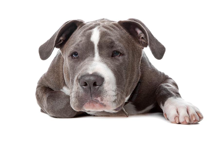 American Staffordshire Bull Terrier