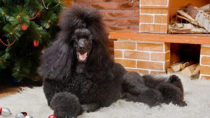 Black Royal poodle