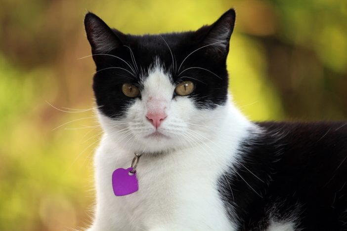 Black and White domestic cat with collar and tags