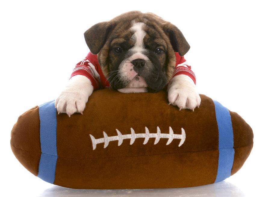 english bulldog puppy wearing red jersey laying on stuffed football