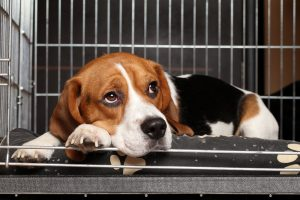 Beagle practice like you're being sued