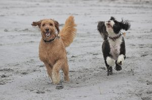 Two dogs run happily on the beach together