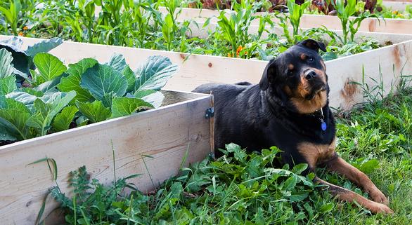 asparagus dog