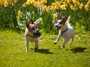 Jack Russell Terriers Playing Fetch