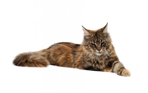 maine coon cat. Black Bedroom Furniture Sets. Home Design Ideas