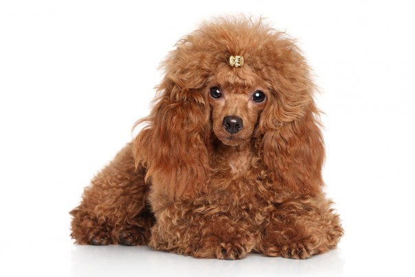 This poodle knows you're lying to yourself
