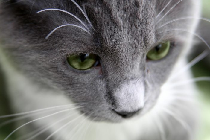 a gray cat with green eyes looks away from the camera
