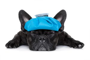 french bulldog dog with ice pack