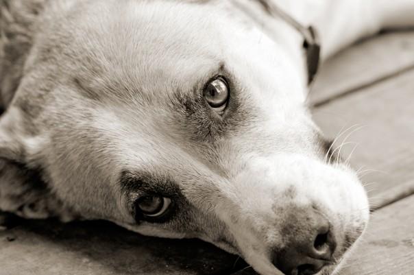 bigstock-Sweet-dog-laying-down-looking--25723856