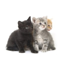 An assortment of kittens play on a white background