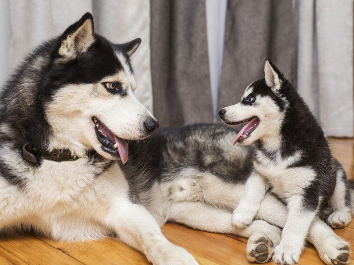 Mother Husky and Puppy Husky