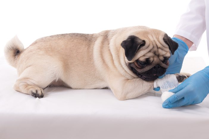 veterinarian putting bandage on the paw of a pug