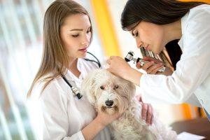 Young veterinarians at work checking Maltese ear at vet ambulant