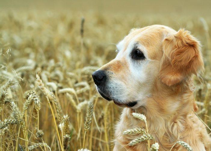 A golden retriever in a field of wheat