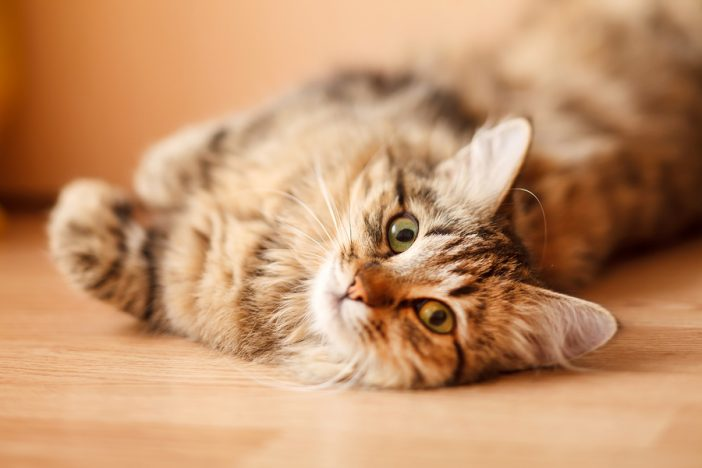 a cat rests on a wooden floor