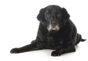 senior dog - black labrador retriever laying down